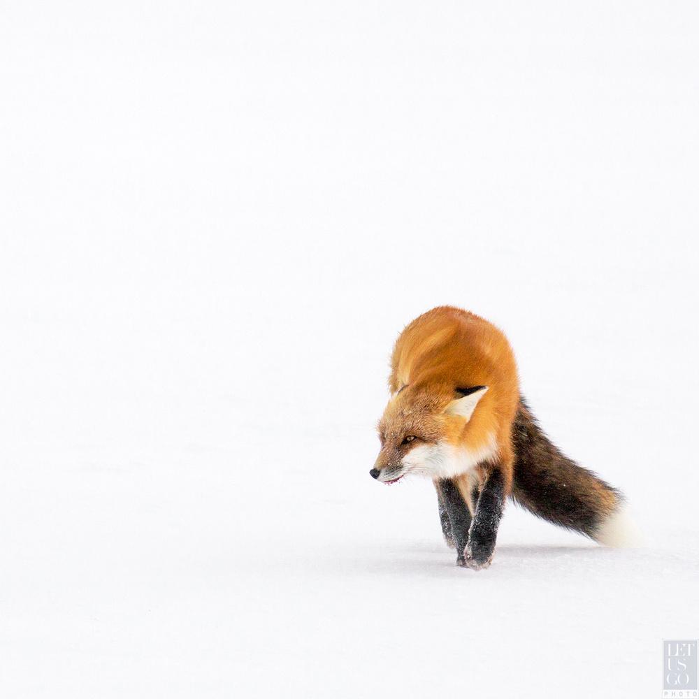 let us go photo travel wildlife photography churchill arctic fox verus red
