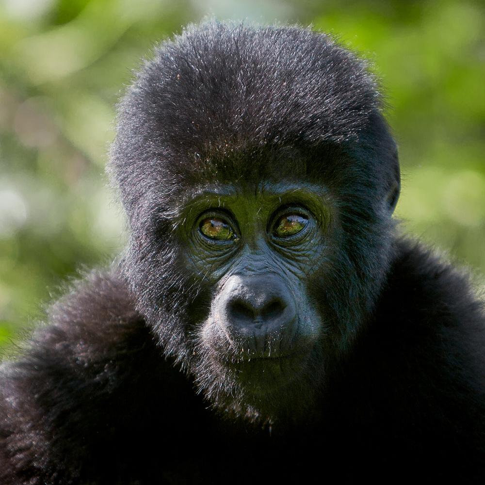 let us go photo wildlife adventure photography mountain gorilla uganda portrait little one