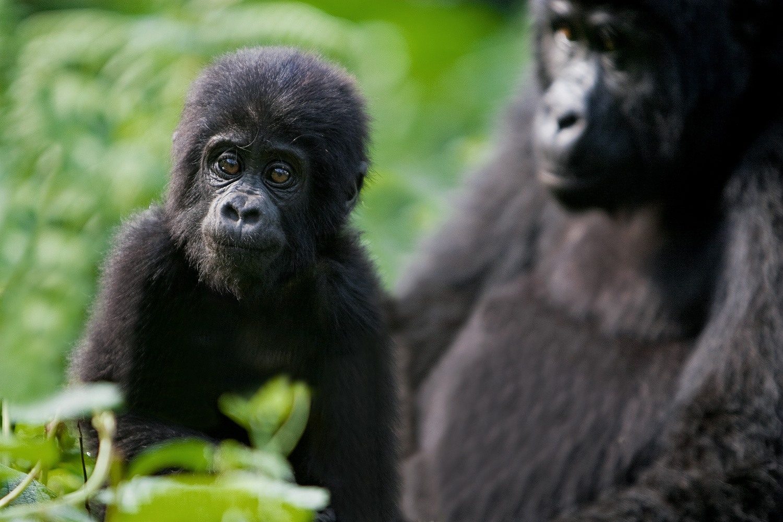 let us go photo travel photography wildlife rwanda uganda baby gorilla