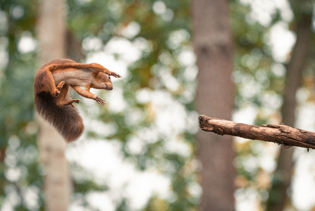 A jumping squirrel in a forest