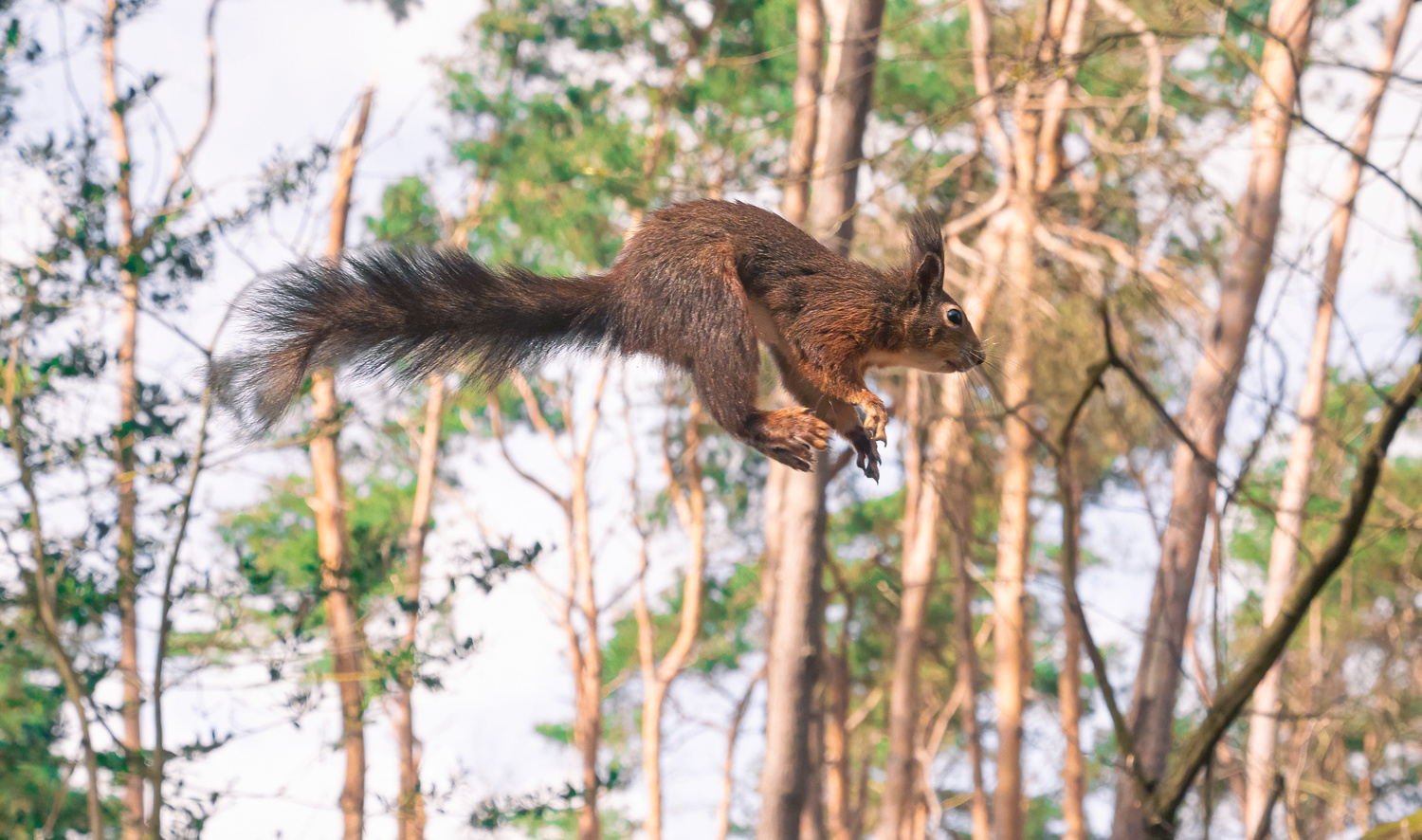 A jumping squirrel