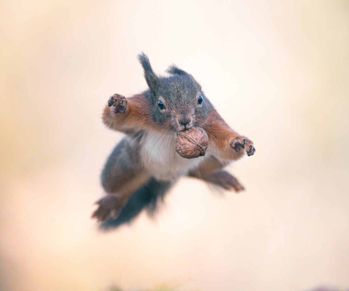 A jumping squirrel with a nut