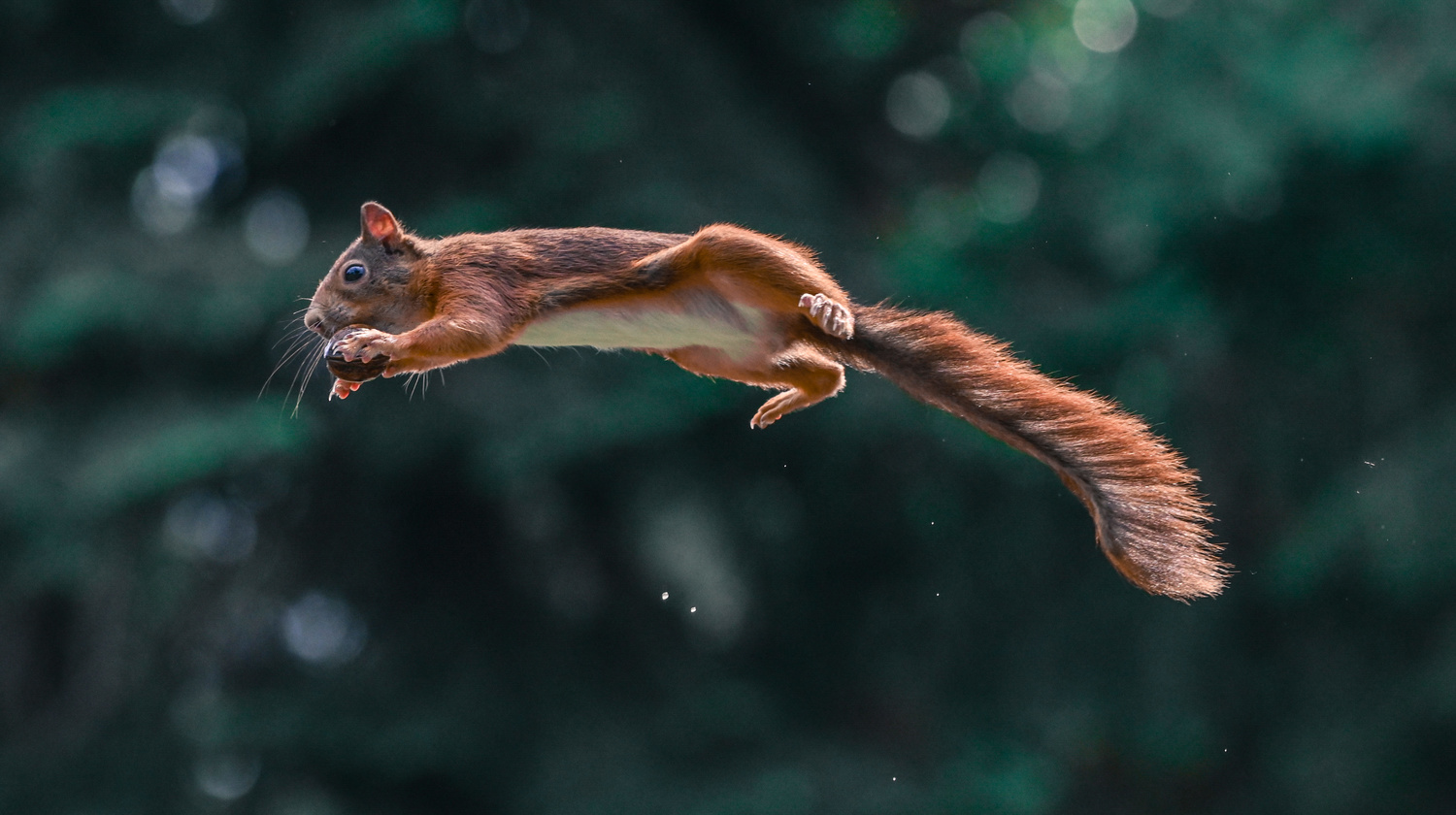 A squirrel jumping with a nut