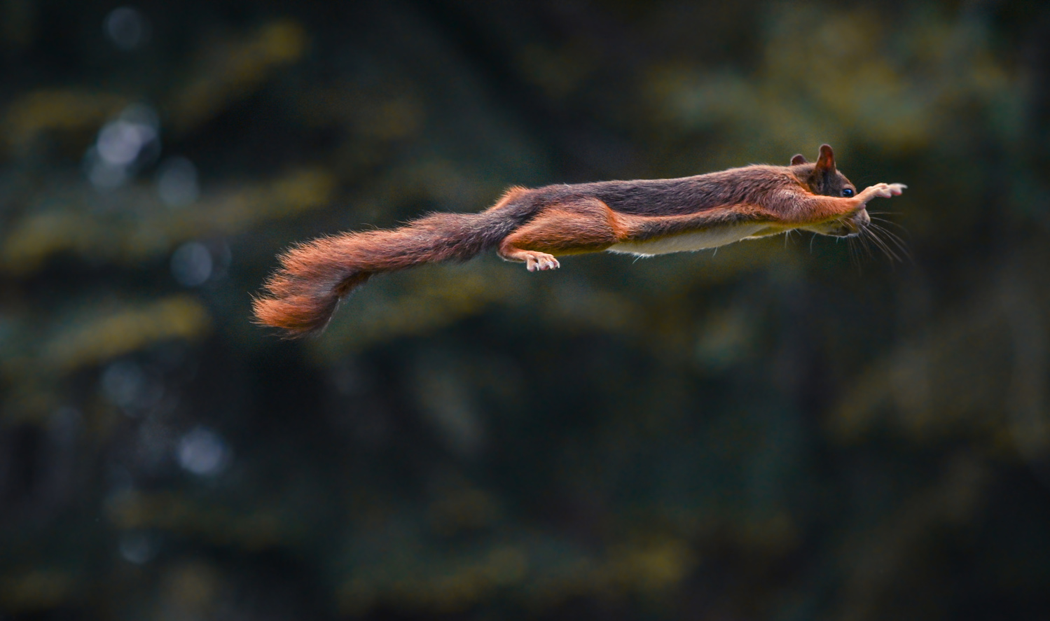 A squirrel jumping