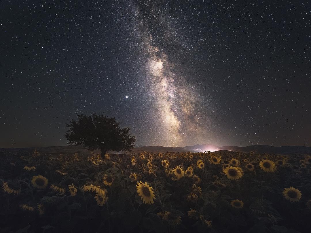 sunflower by ali gorohi