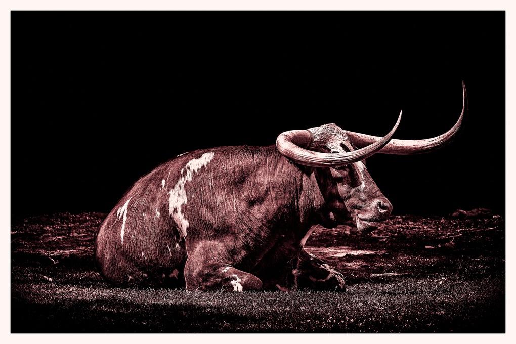 Texas Longhorn  by Robert Butler
