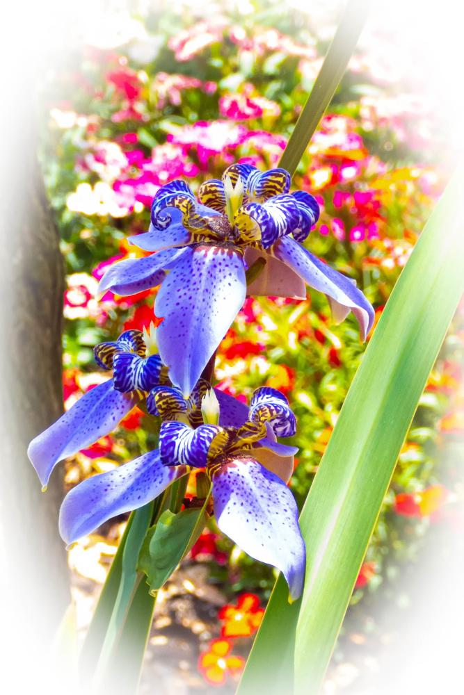Iris Delights by Robert Barr