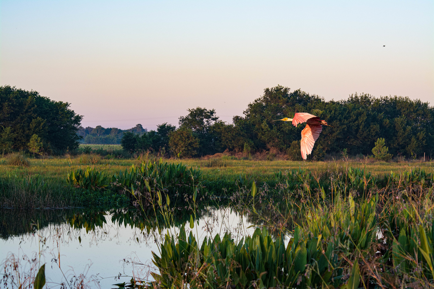 Roseate Spoonbill in the Morning by Robert Barr