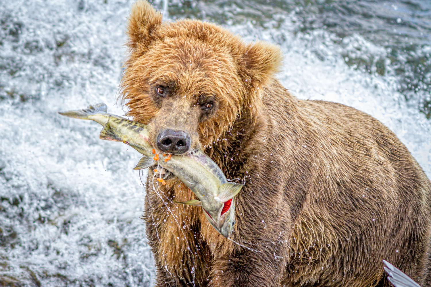 Brown Bear Eating Salmon by Daniel Wise