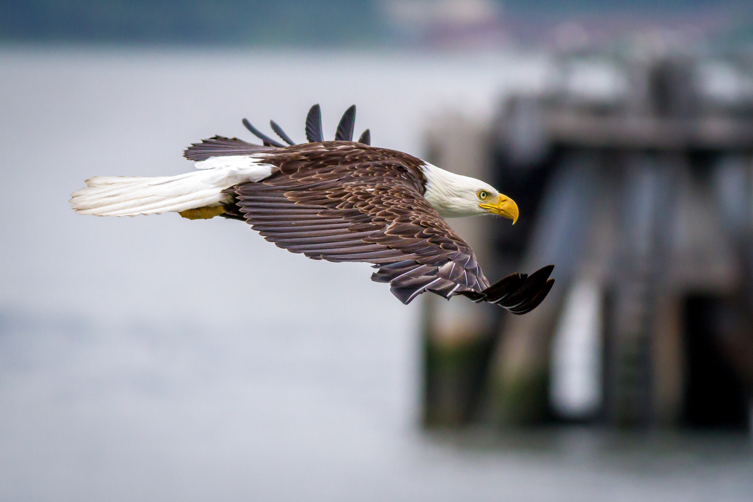 Bald Eagle  by Daniel Wise