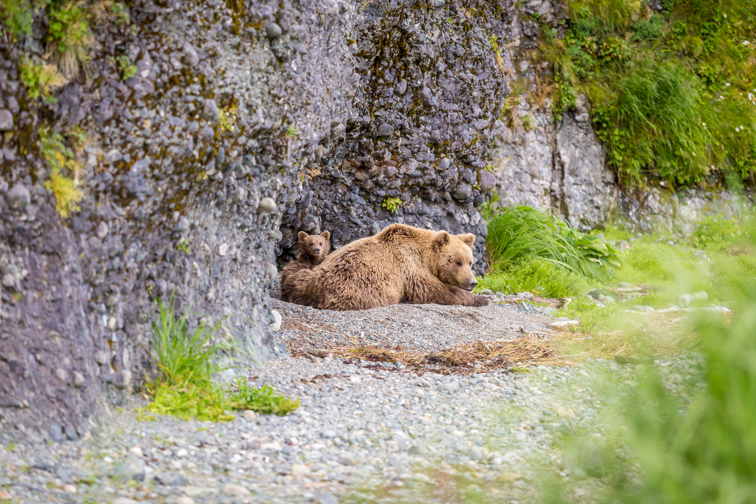 Mama bear and cub napping by Daniel Wise