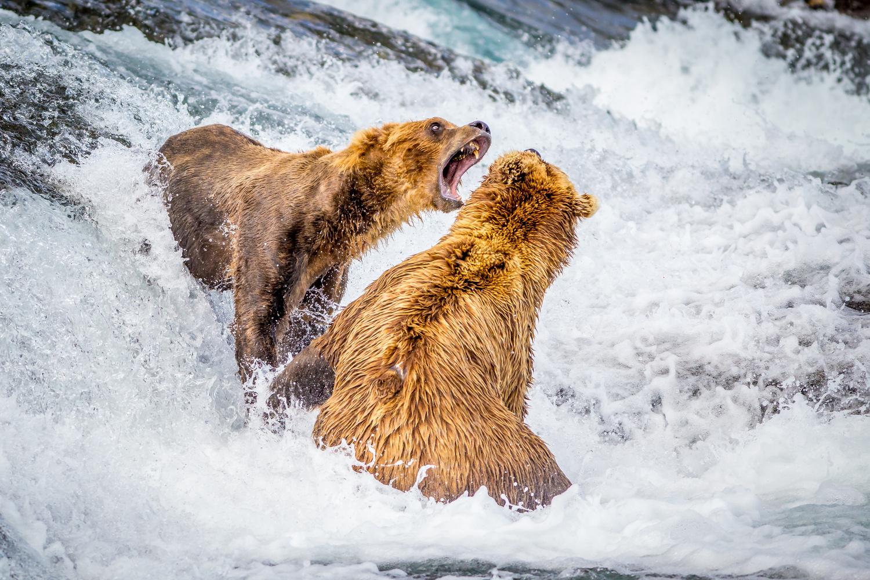 Bear Fight by Daniel Wise