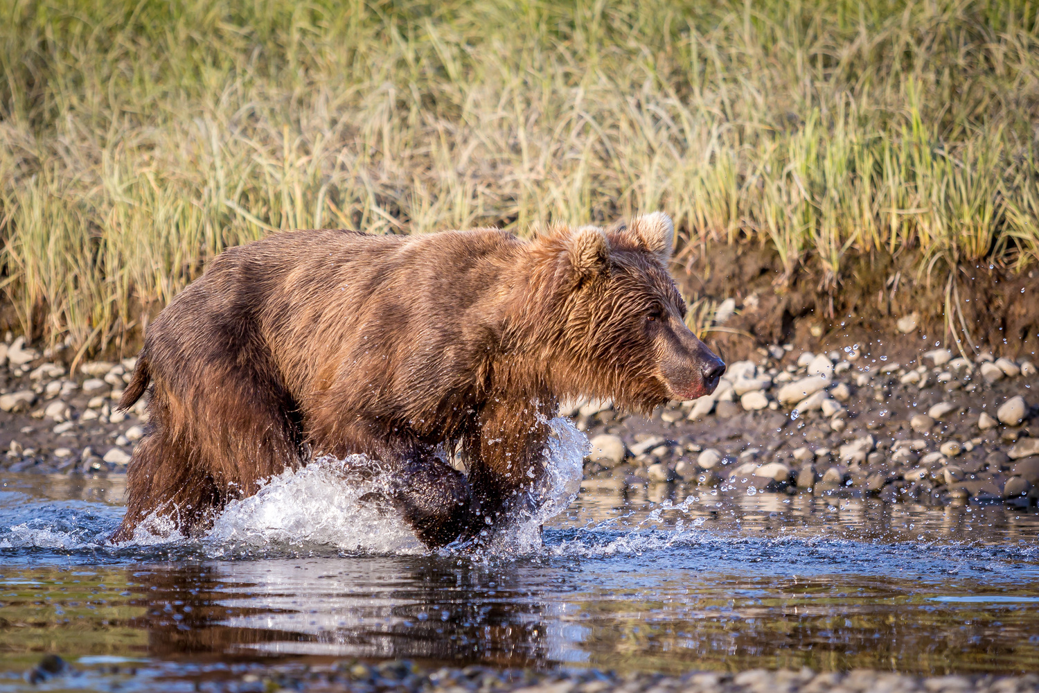 Bear hunting for fish by Daniel Wise