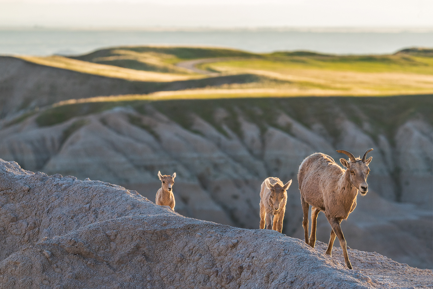 Bighorn Sheep Family by Paolo Veglio