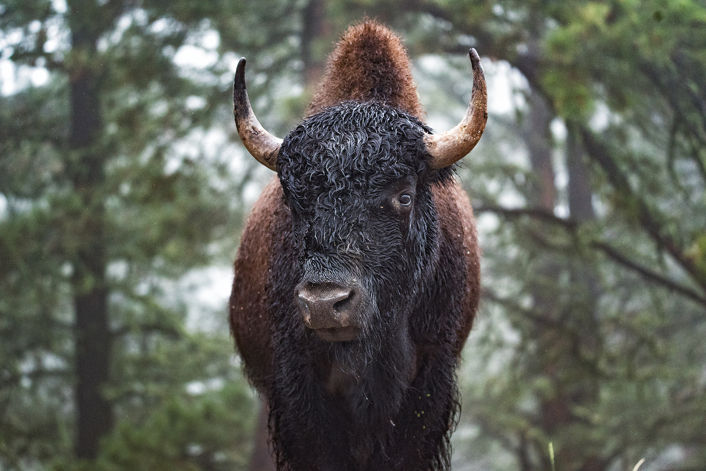 Bison Portrait by Paolo Veglio