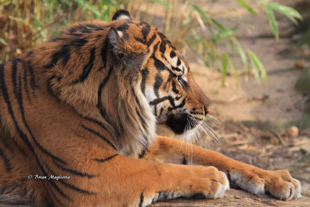 Tiger by Brian Maglietta