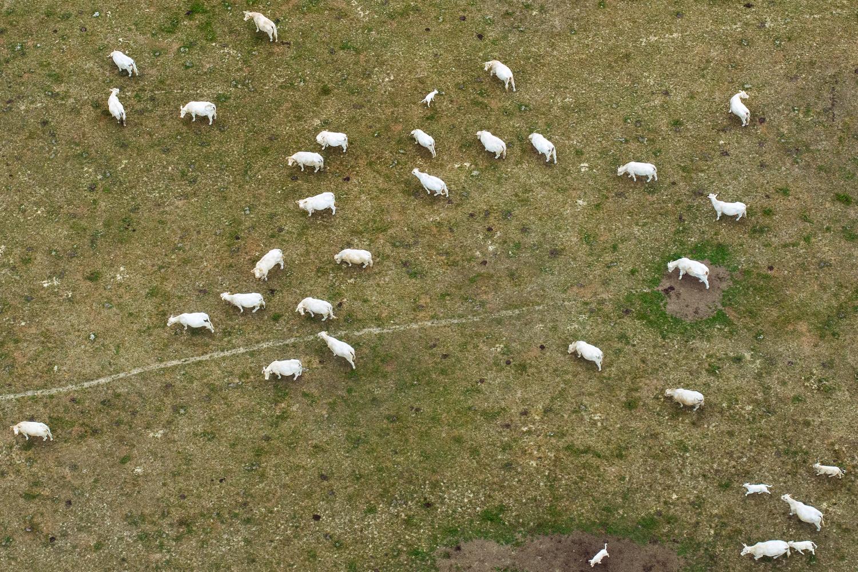 Cows on the field  by Luka Jazić