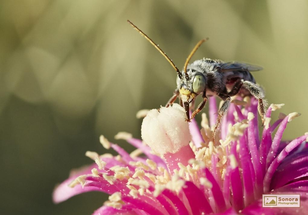 Bee on a Cholla Cactus Blossom by John Magana