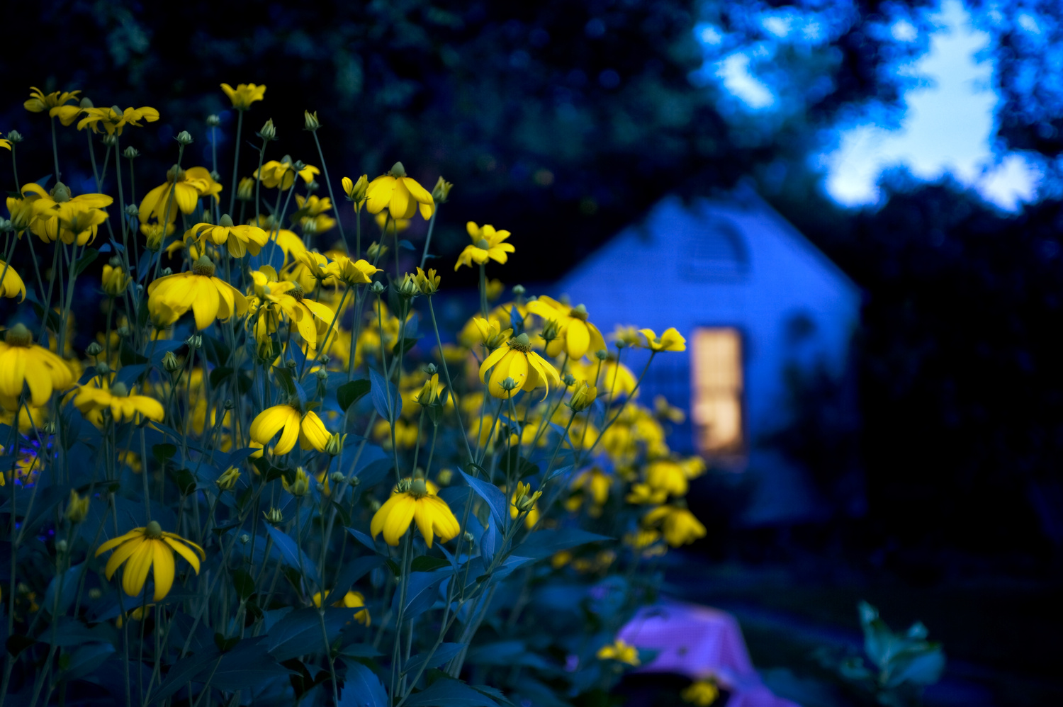Coneflower with lighted window by kent j