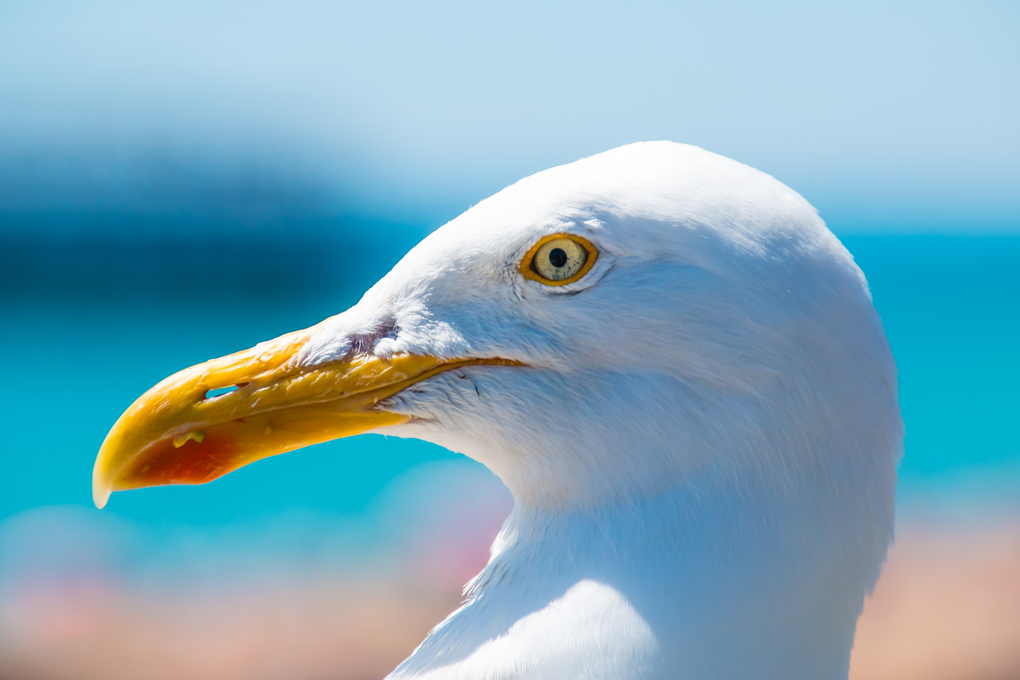 Profile of a Seagull by Olivier Verbiest