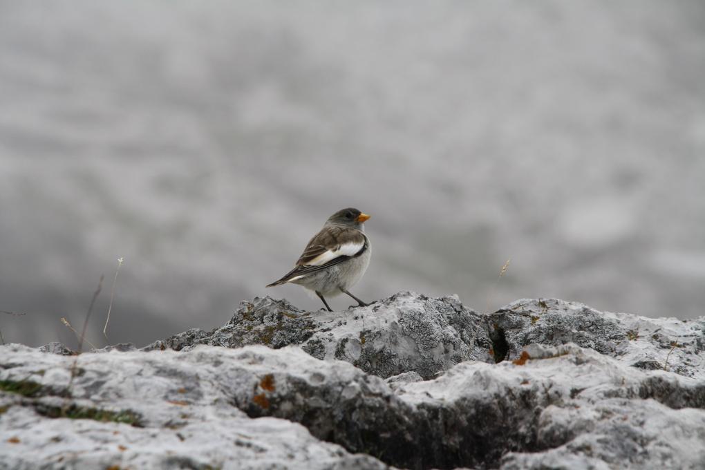 Mountain Sparrow by Giovanni Polvani