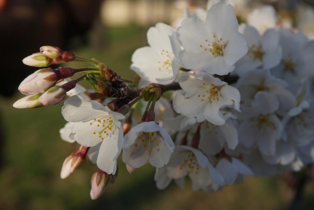 Cherry Blossom by Sree Kala Kadiani