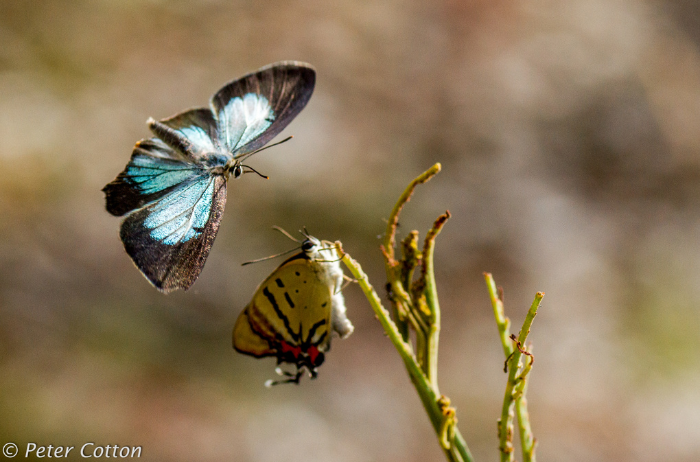 Imperial Blue Butterfly in flight 1 by Peter Cotton