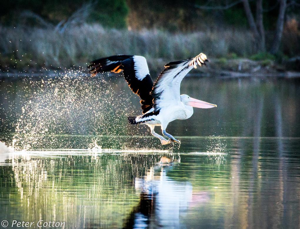 Flighty Pelican by Peter Cotton