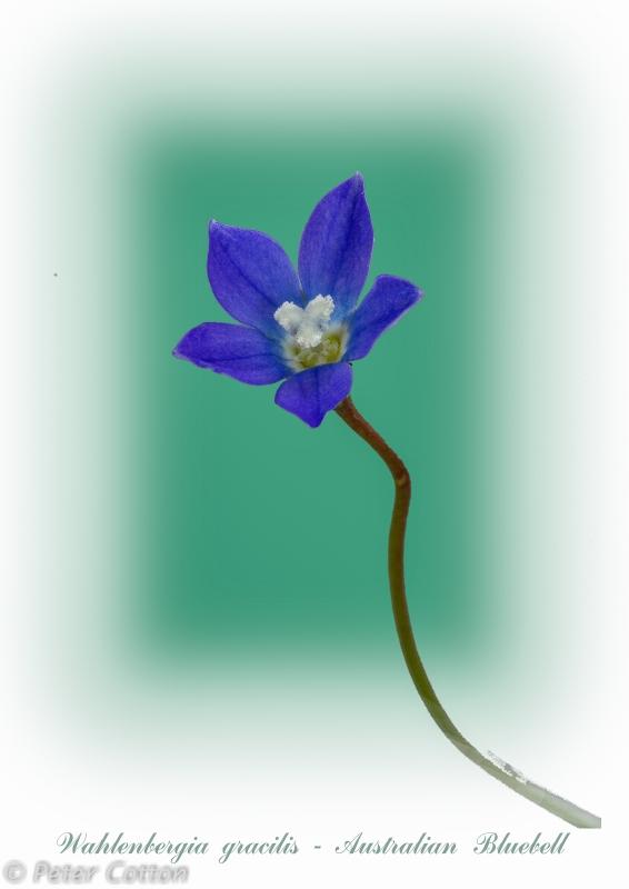 Australian Bluebell by Peter Cotton