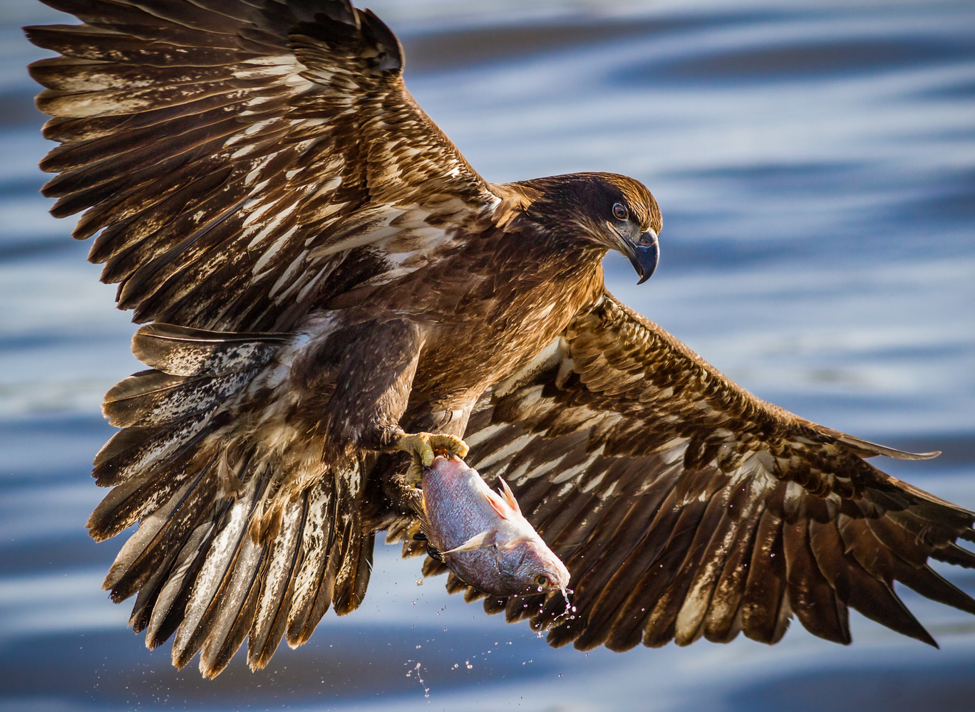 Juvenile Bald Eagle Showing Off by Troy Marcy