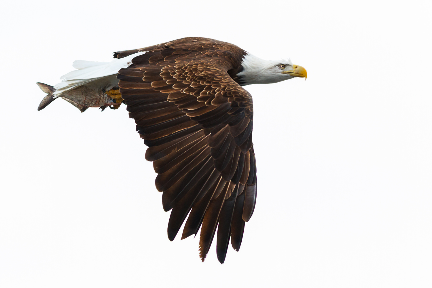 Profile of an Eagle Flyby by Troy Marcy