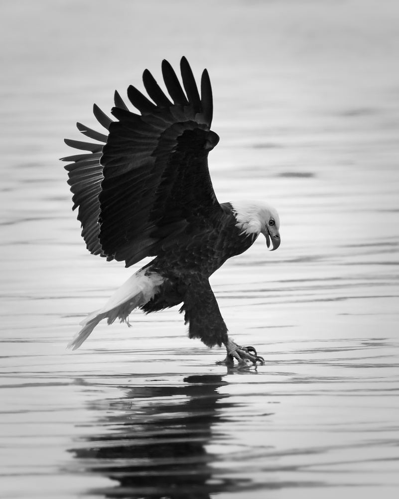 Portrait of a Fishing Eagle by Troy Marcy