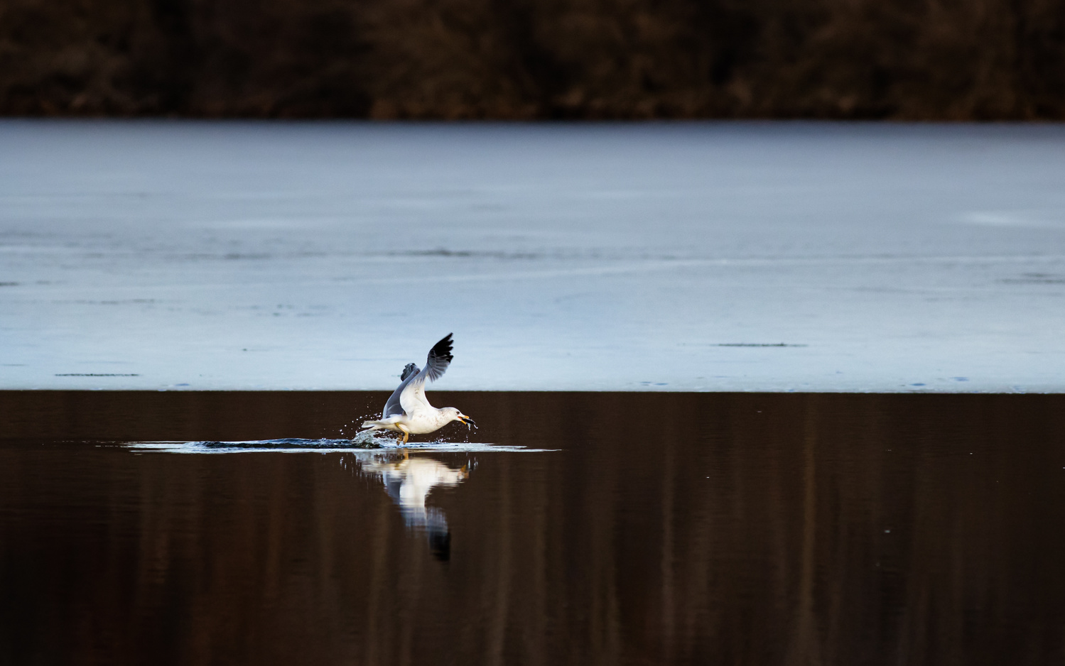 Ring-Billed Gull Fishing 1 by Troy Marcy
