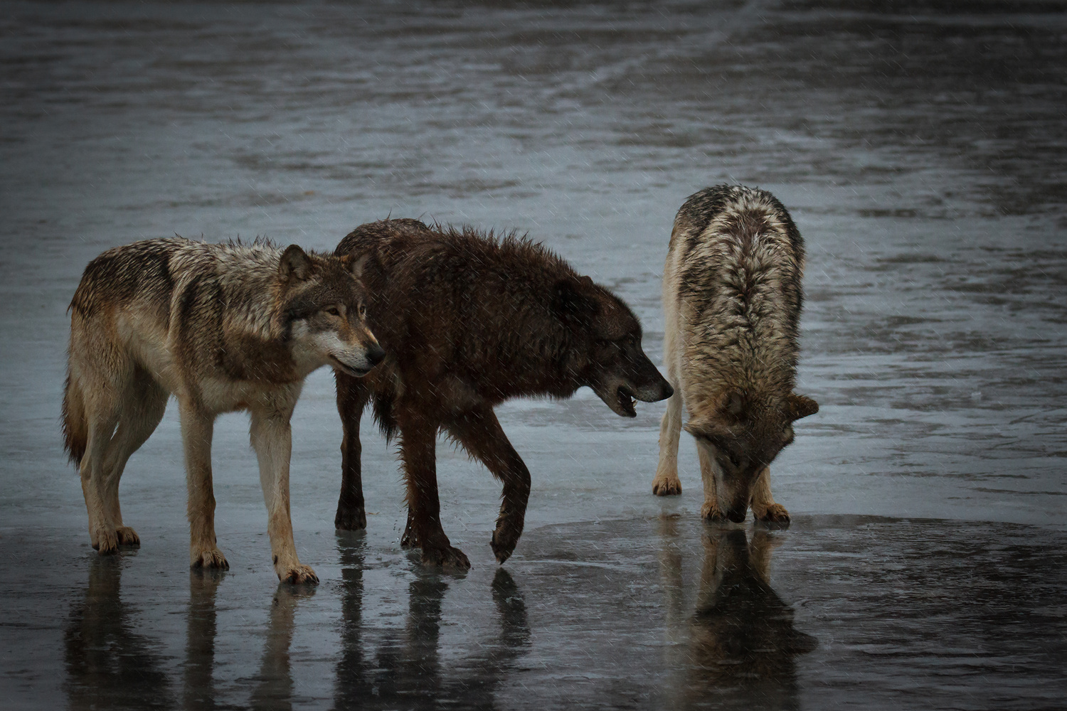 Wolves on a Winter Stroll by Troy Marcy
