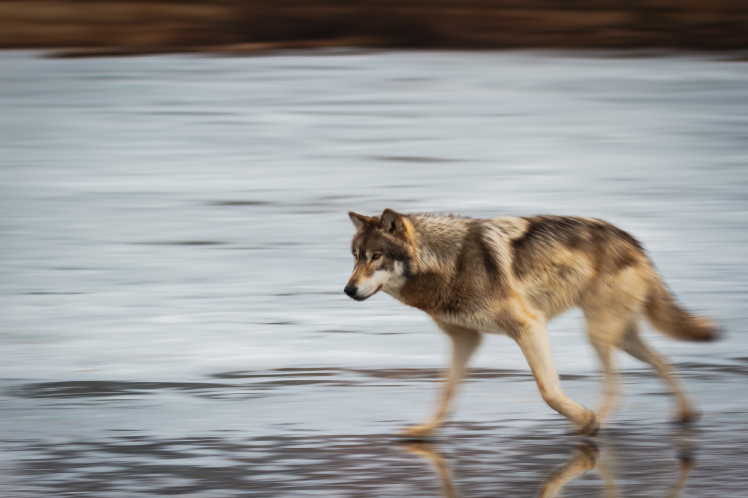 Wolf in Motion by Troy Marcy