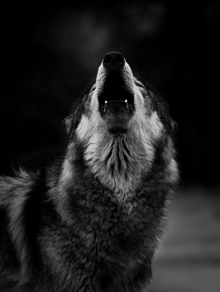 A Cold Howl by Troy Marcy