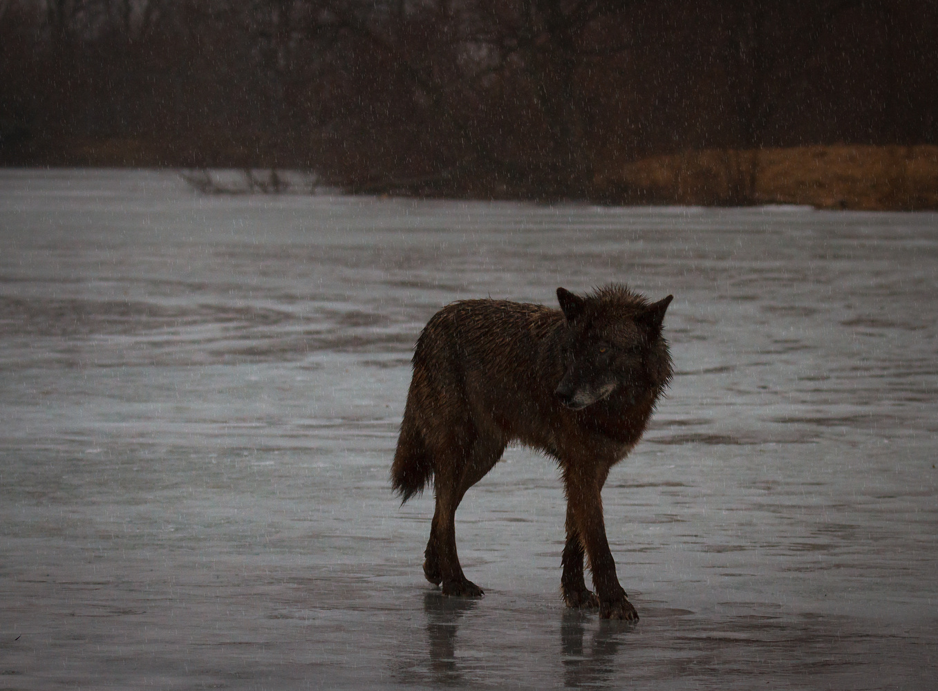 Wolf in the Rain Landscape by Troy Marcy