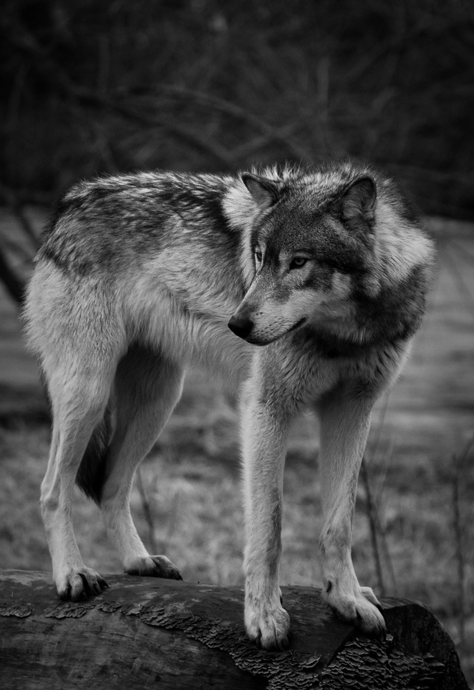Beautiful Wolf in Black White by Troy Marcy