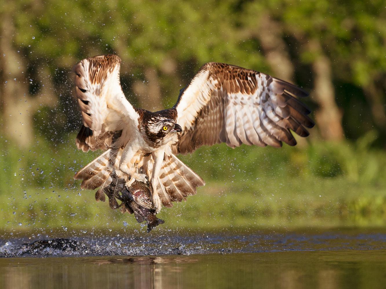 Osprey (Pandion haliaetus) by Howard Ashton-Jones