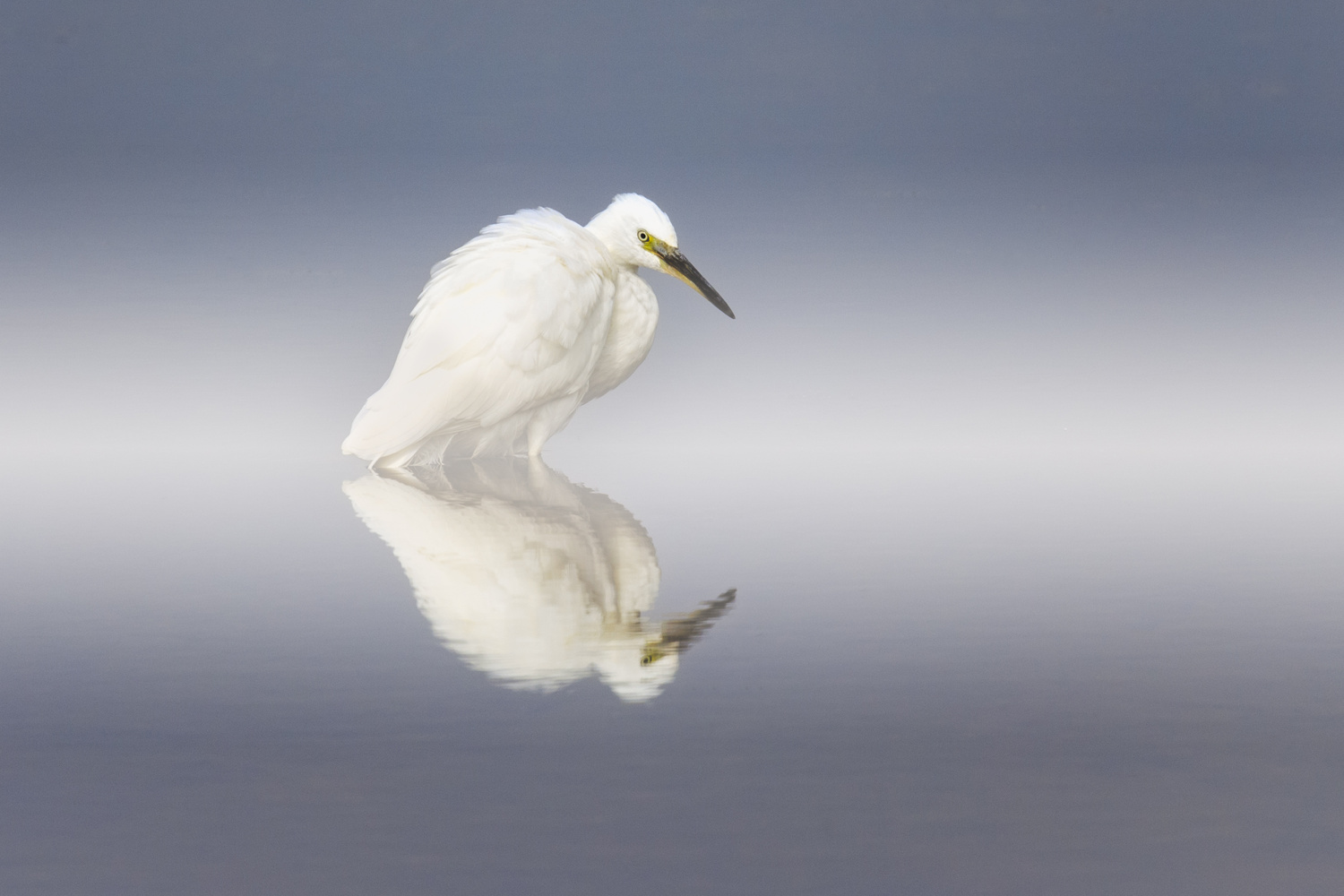 Little Egret by Howard Ashton-Jones