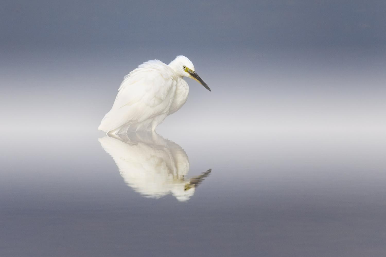 Little Egret by Howard Ashton-Jones