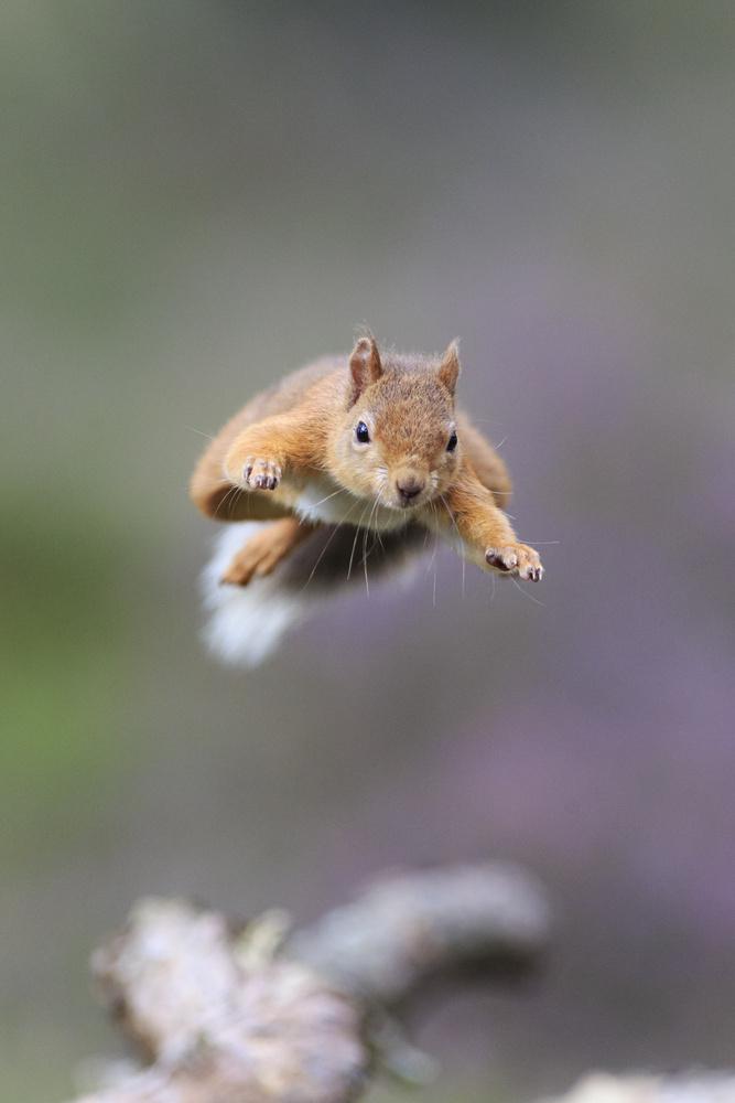 Is it a bird? a plane? No Super Squirrel by Howard Ashton-Jones