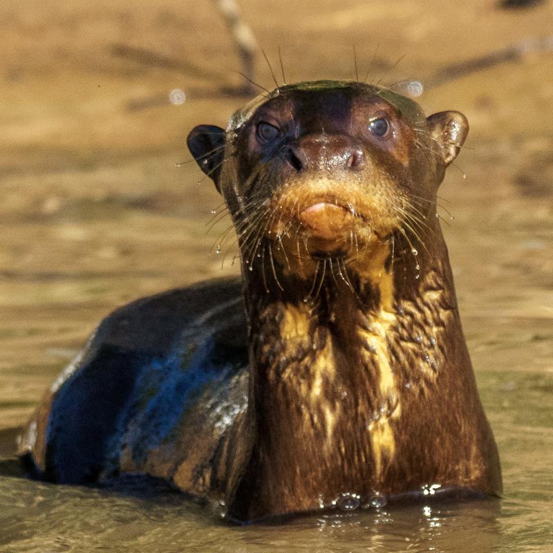 Giant River Otter by cheryl pelavin