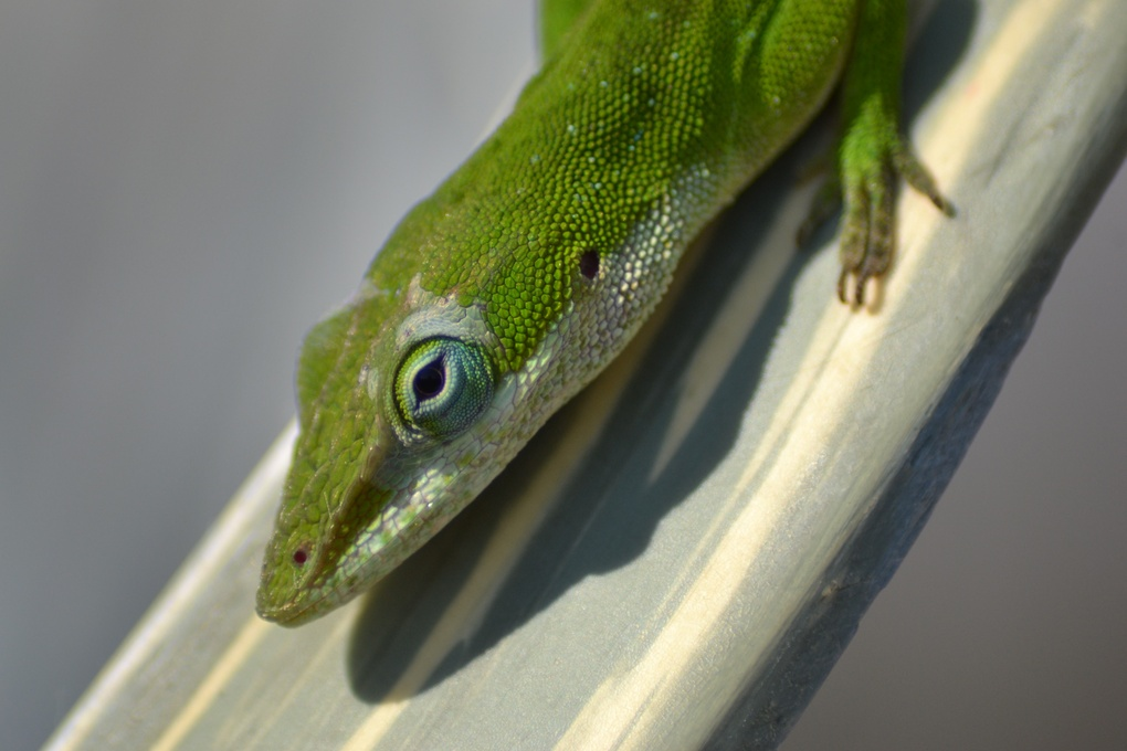 Green Anole by Kevin Horn Sr