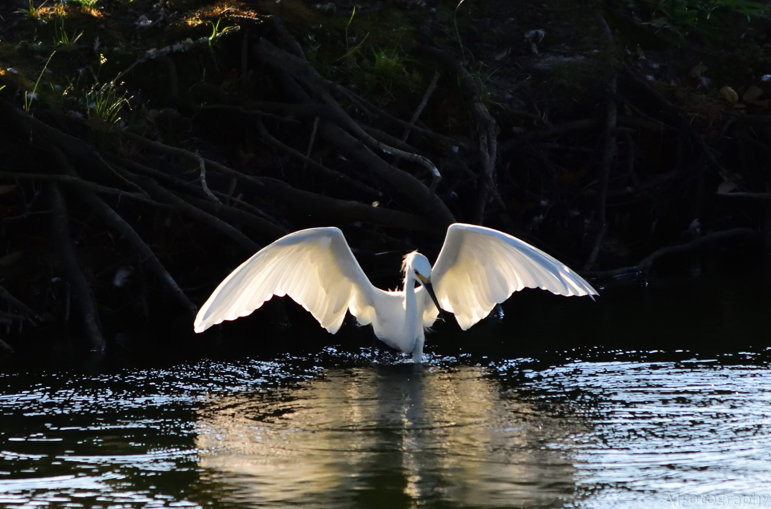 Snowy Egret by Kevin Horn Sr
