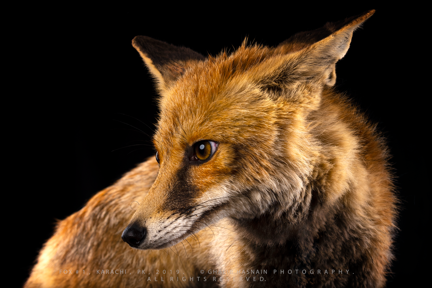 Fox by Ghalib Hasnain
