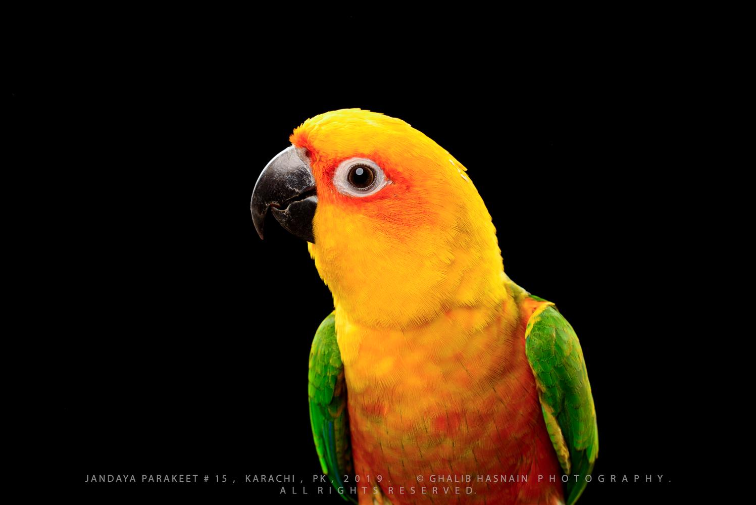 Jandaya Parakeet by Ghalib Hasnain