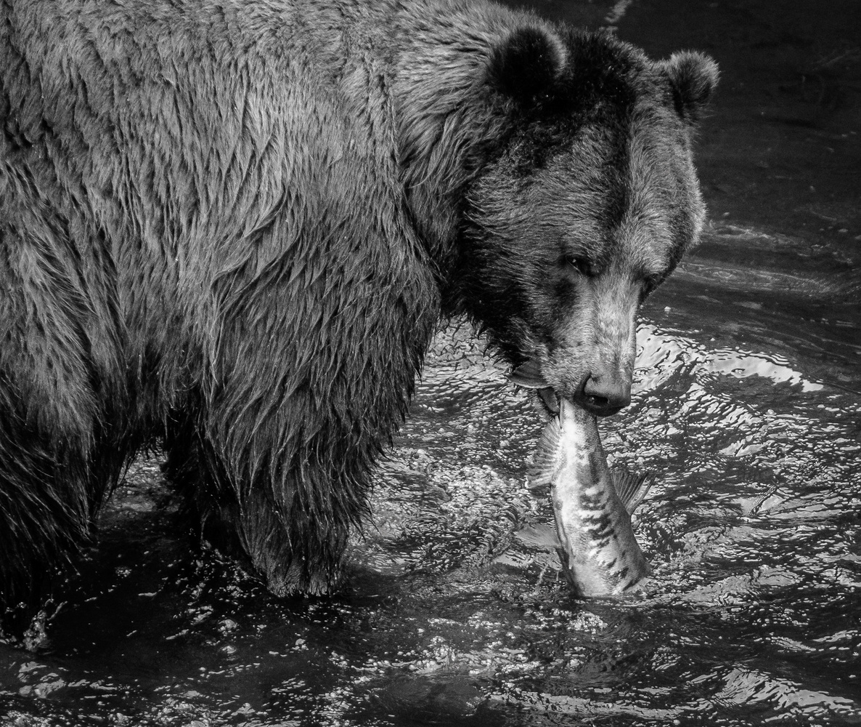 bear 1 by John Taylor