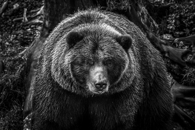 bear 2 by John Taylor