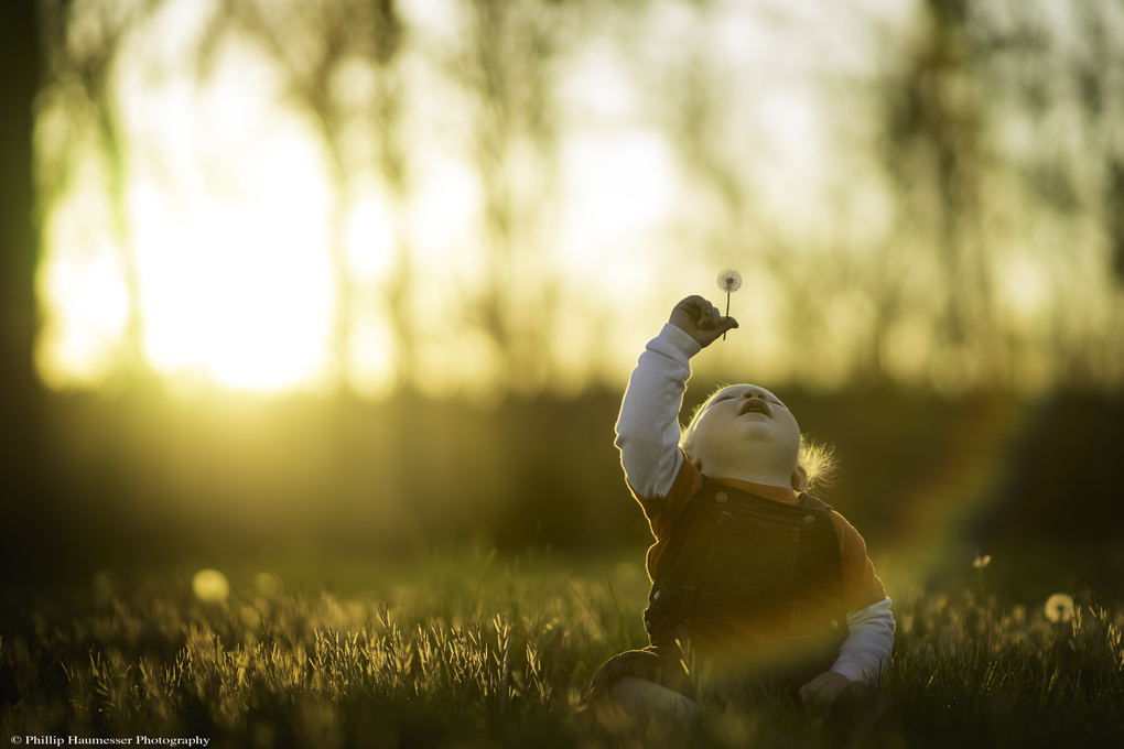 Evening Dandelion by Phillip Haumesser